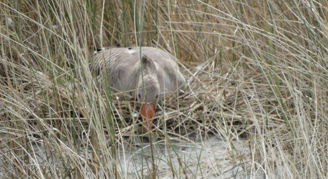 Grauwe gans op haar nest