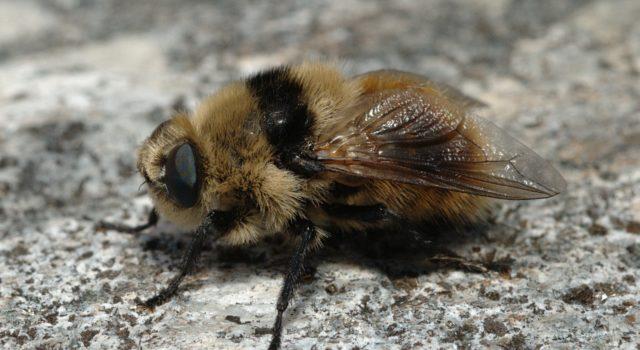 Reeënhorzel, niet te verwarren met een Hoornaar.