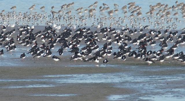 Trekvogels Terschelling