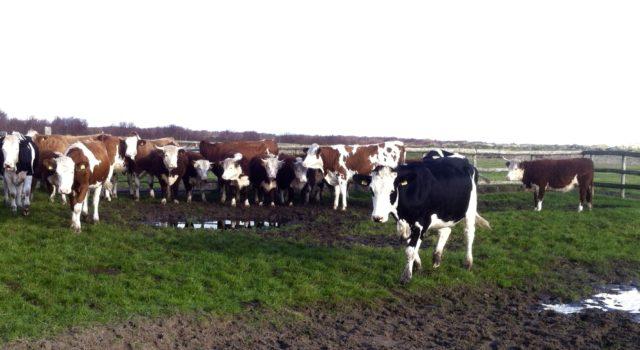 koeien op De Groede
