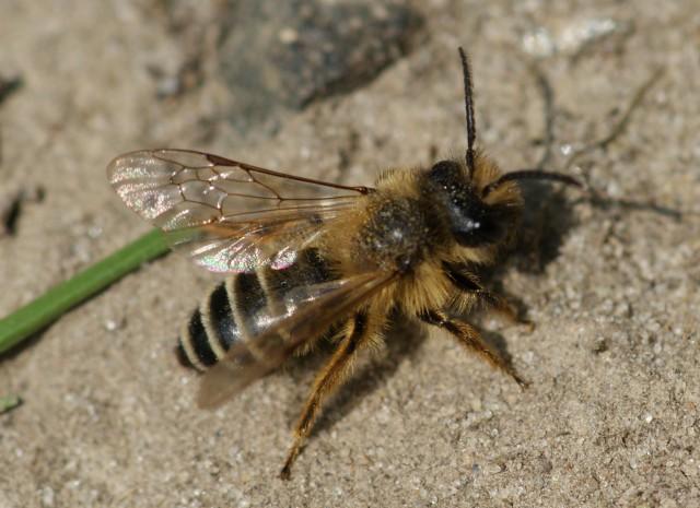 mannetje van de witbaardzandbij zonnent op open zand