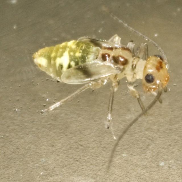larven van een stofluis (c) Cees Gielis