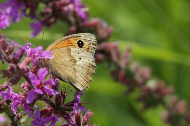 Bruin zandoogje, onderkant vleugels. Wel twee wittes tippen in oog, maar zwarte stippen op achtervleugel
