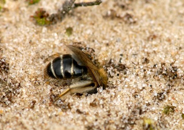 Vrouwtje zilveren zandbij verdwijnt in los zand opweg naar nestgang