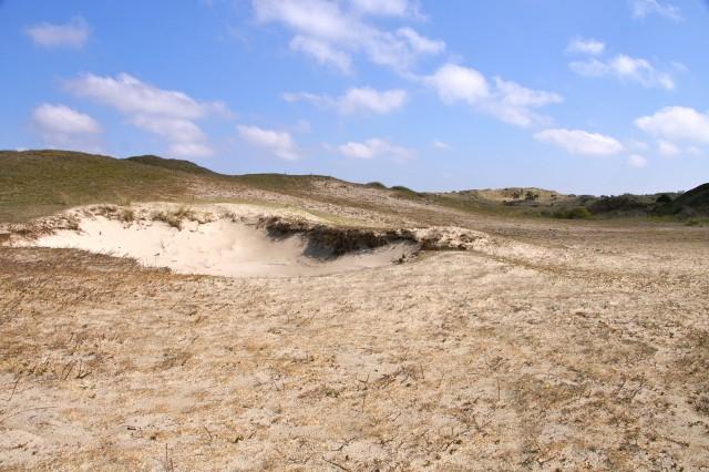 In de Bollekamer zorgt de begrazing ook voor kleinschalige verstuiving die duingraslanden verjongd.