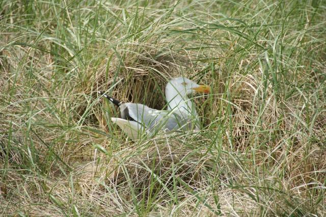 Zilvermeeuw op het nest