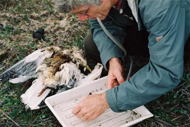 Entomoloog Bas Drost zoekt uit hoeveeel keversoorten er in een dode meeuw leven