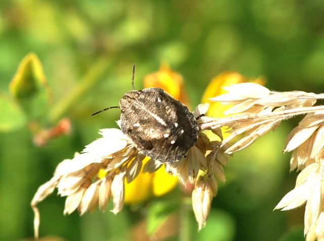 Een nimf, puber, van een wants ziet er al bijna uit als een volwassen exemplaar. Eurygaster testudinaria is van dit geslacht de enige soort op de Wadden.