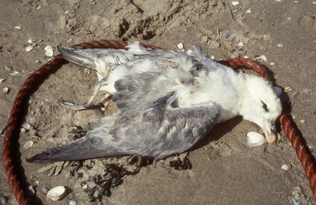 dode stormvogel op het strand (c) Jan van Franeker-IMARES