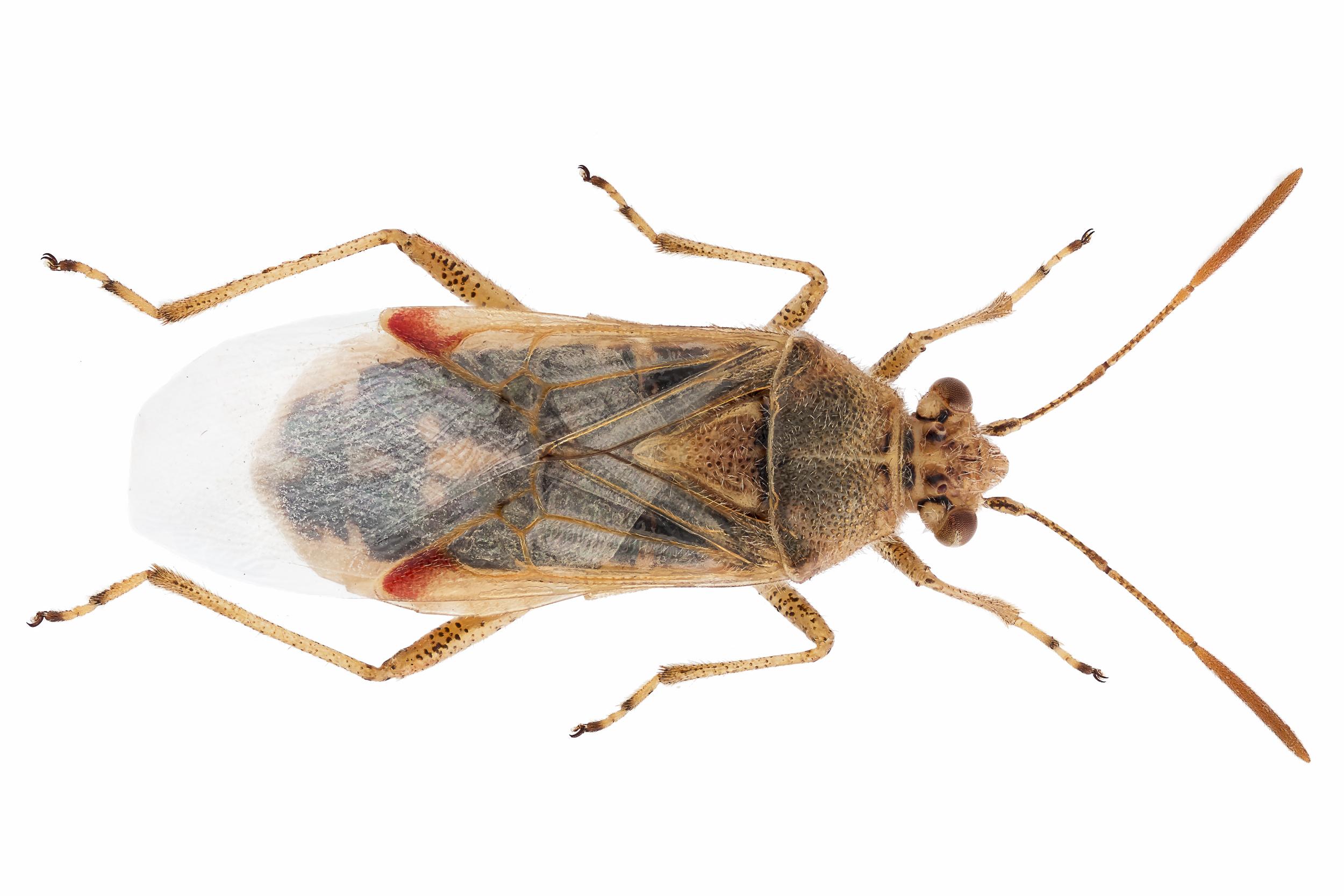 Liorhyssa hyalinus (foto van Theodoor Heijerman)