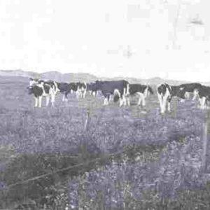 tot weide ontgonnen duinen 1908 web