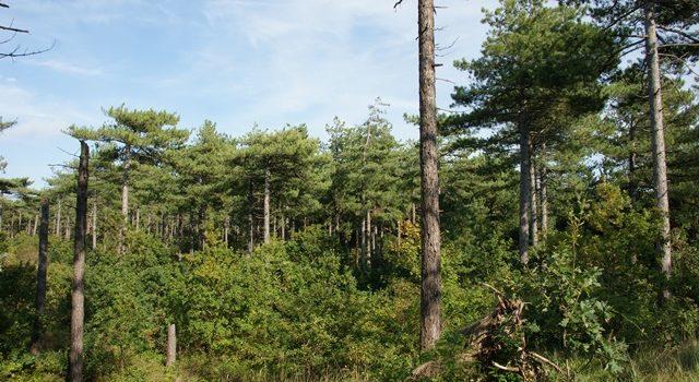 natuurlijke verjonging bos Texel