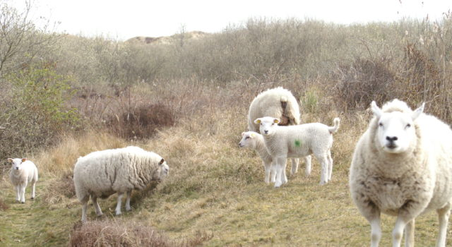 schapen duinen Texel