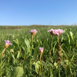 bloeiend engels gras slufter texel