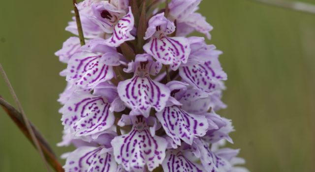 Gevlekte orchis op Texel