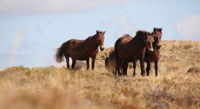 Exmoor pony's in de Bollekamer op Texel
