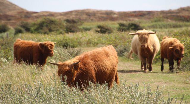 Schotse hooglanders in de Bollekamer op Texel