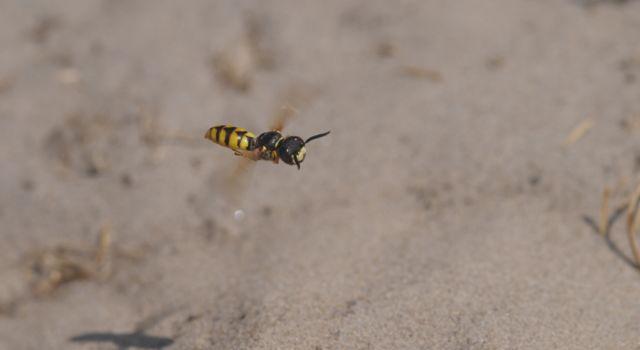 Bijenwolf in De Slufter op Texel