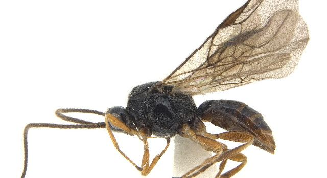 Epimicta marginalis wasp, CBG Photography Group, Centre for Biodiversity Genomics Creative Commons - Attribution Non-Commercial Share-Alike (2019)