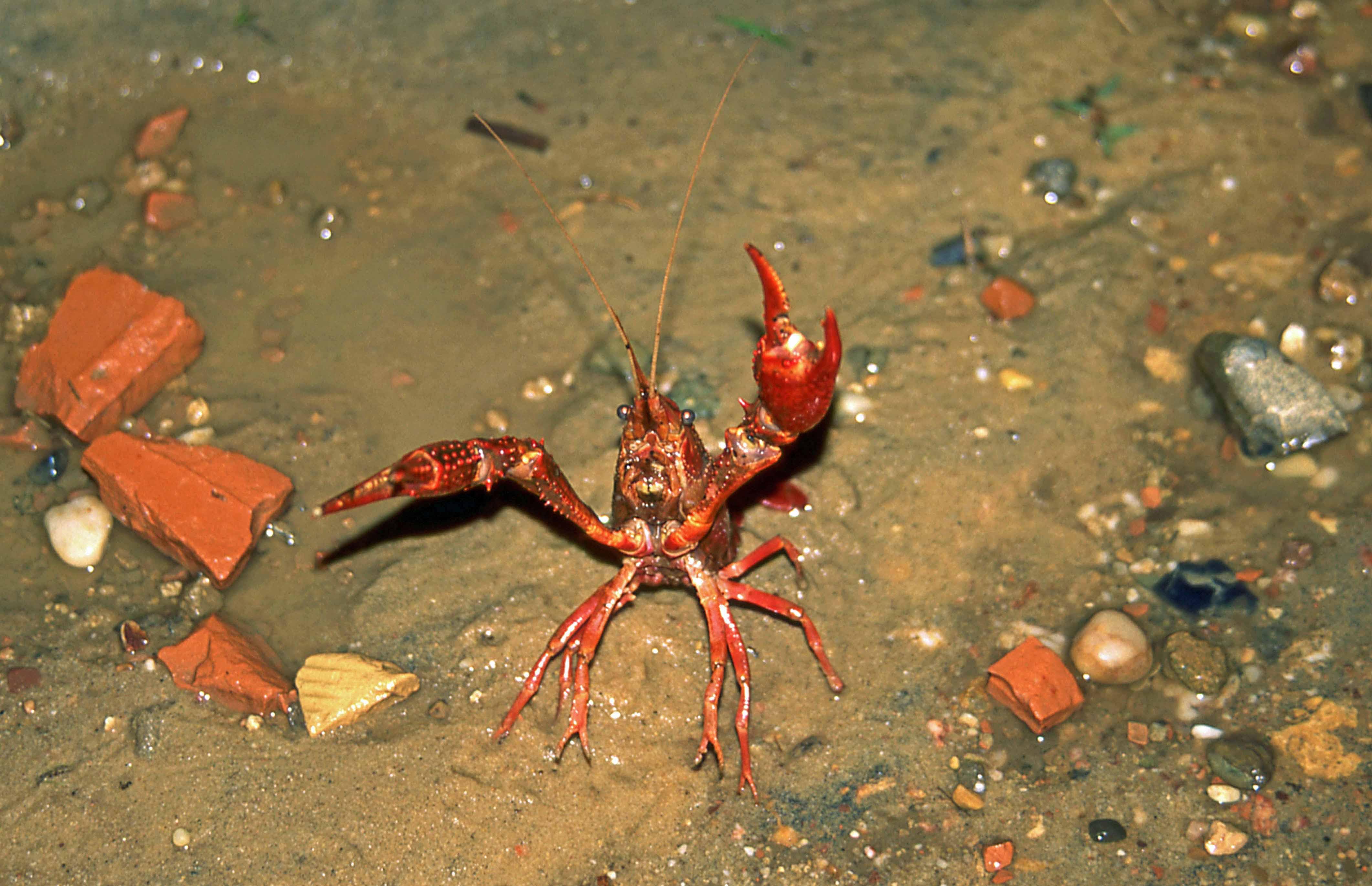 Amerikaanse rivierkreeft - foto: Bert van Dijk
