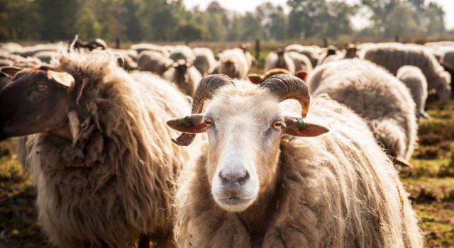 Een kudde schapen op de heide