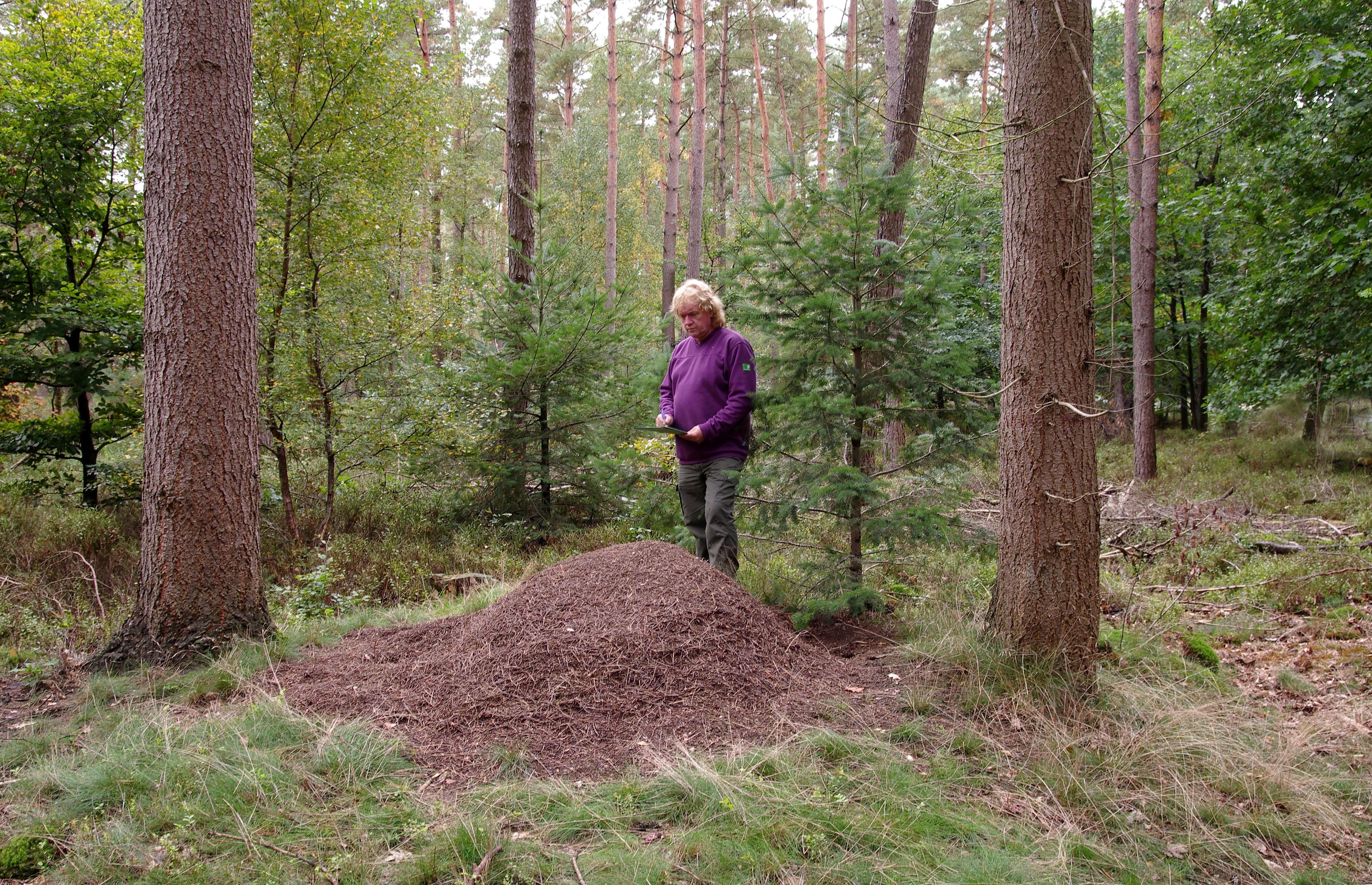 Boswachter Harry Hees inventariseert nesten van rode bosmieren op de Veluwe