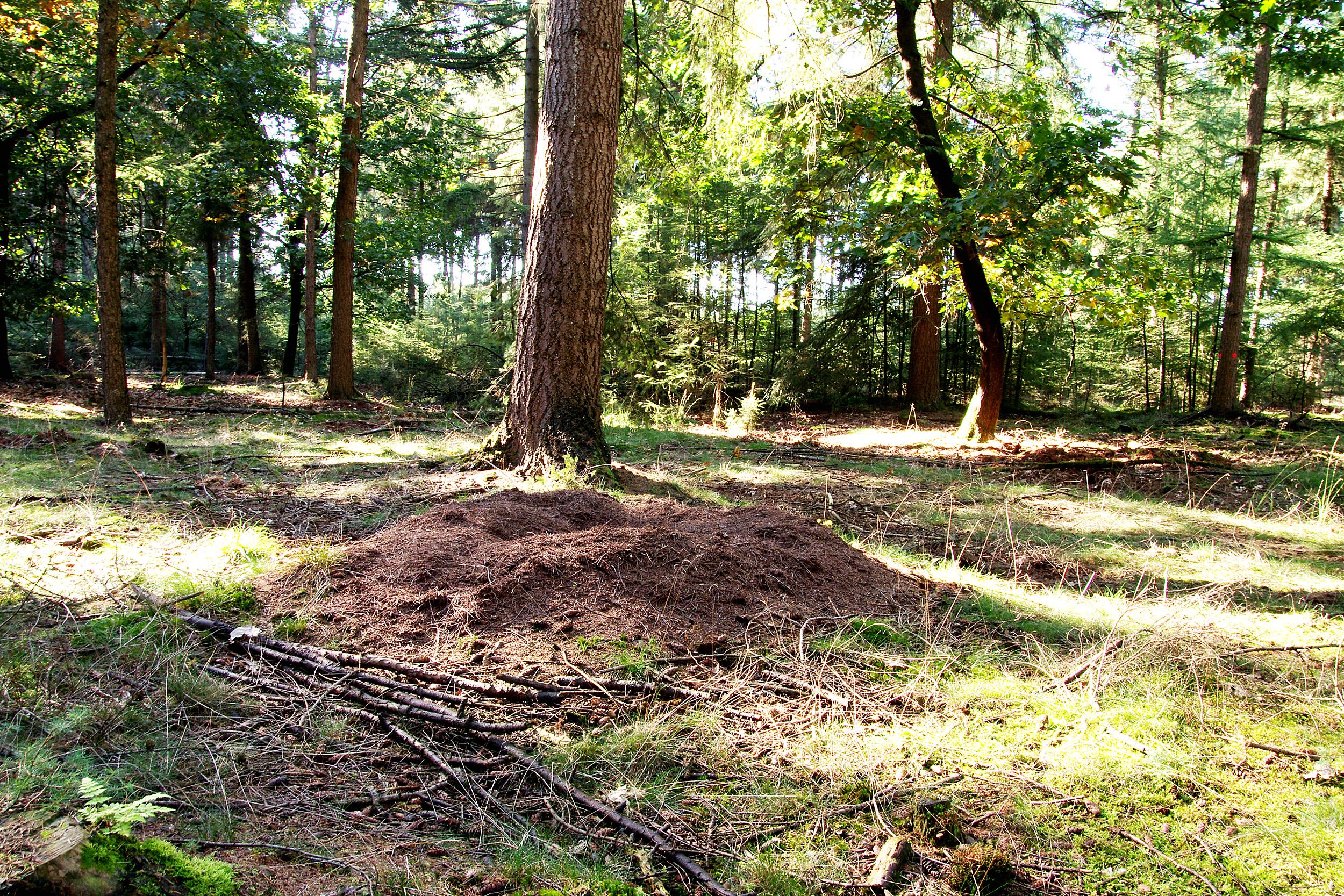 Mierennest uitgegraven door dassen, vossen of... door mensen