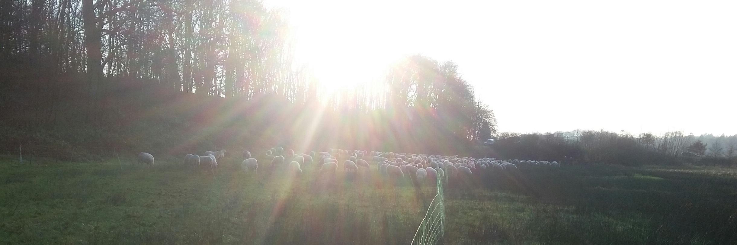 De schapen vormen een prachtig plaatje in het gebied