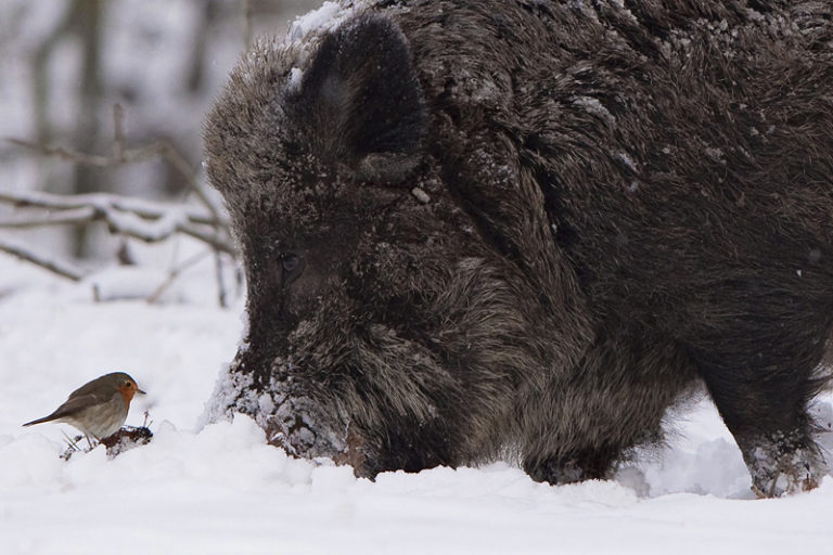 Wild boar and robin, photo © Ernst Dirksen