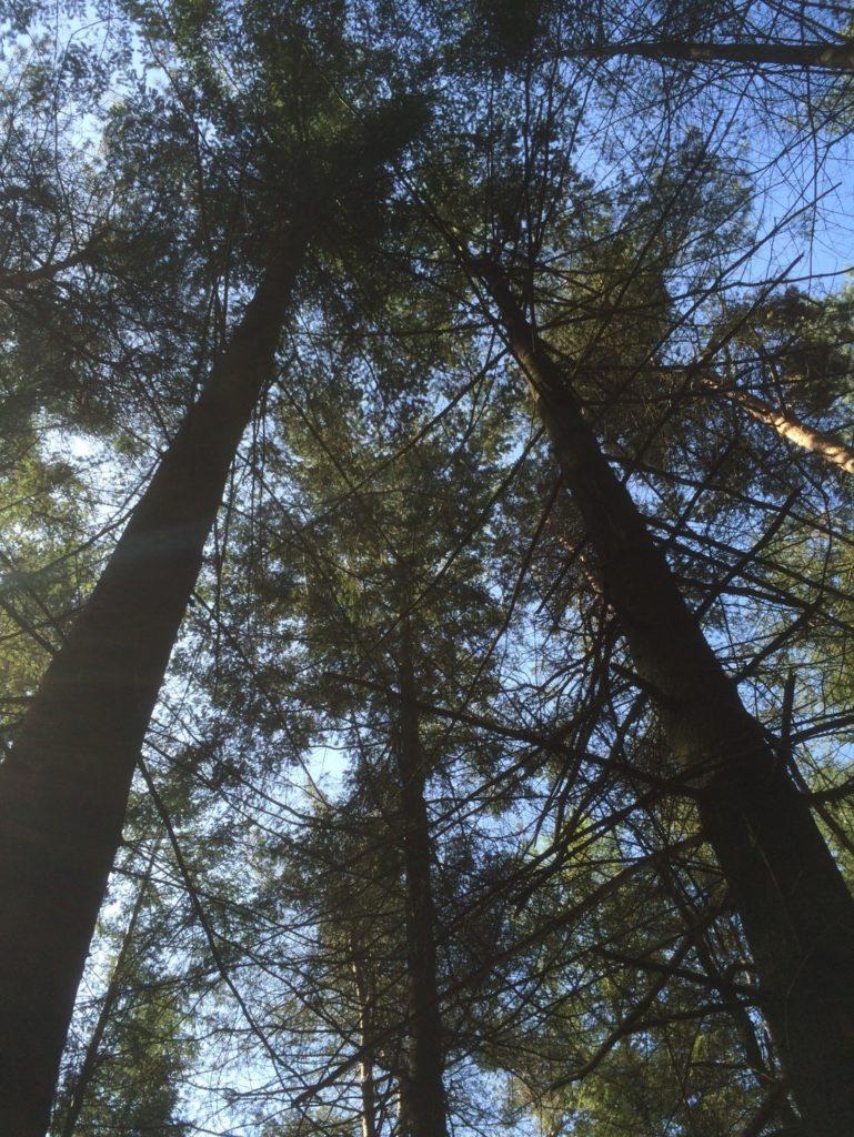 Op deze afbeelding is de keus gevallen op de linker boom. Deze is recht en nagenoeg takvrij. De rechterboom, met veel dikke, dode zijtakken gaat weg om de betere boom door te laten groeien. Zoals je ziet zitten de kronen tegen elkaar aan, wat bomen belemmerd in hun groei.