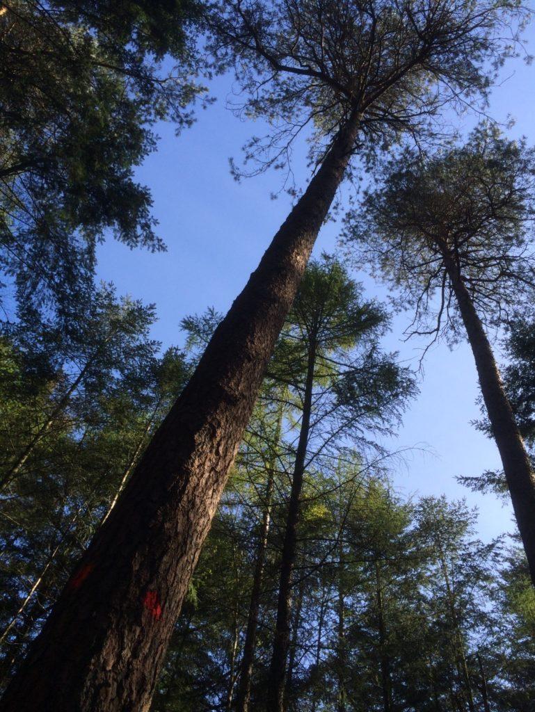 Op deze foto is het bosvak ongeveer 10 jaar ouder dan op de eerste foto. De bomen hebben al meer ruimte gekregen, maar toch zitten de kronen nog tegen elkaar aan. Het wordt wel steeds lastiger om de beste bomen uit te kiezen omdat we in de eerdere drie of vier dunningen de mindere bomen al weg hebben gehaald.