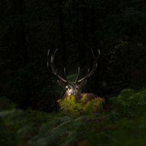 Edelhert in het bos, opgelicht door een streepje zonlicht