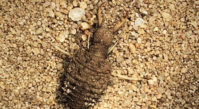 de larve van een mierenleeuw