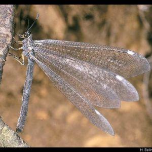 volwassen mierenleeuw. Foto H. Bellmann