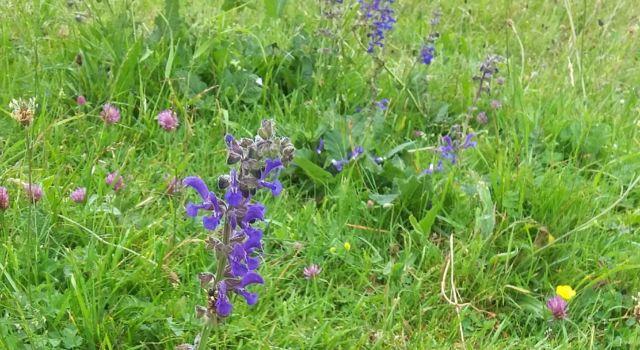 veldsalie in een kruidig grasland
