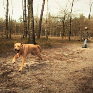 Een hond rent los over de paden van een hondenlosloopgebied