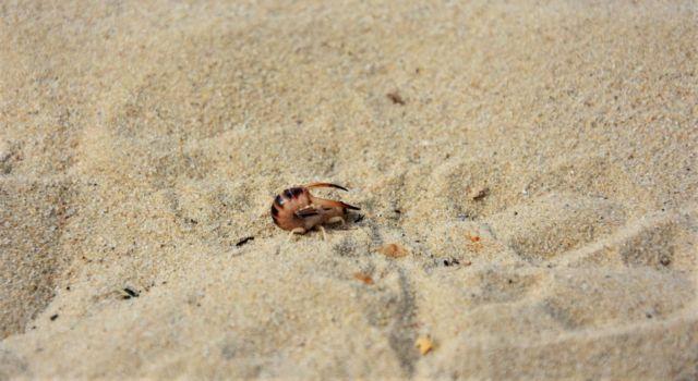 Zandoorworm in dreighouding: net een schorpioen