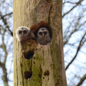 Jonge bosuilen gluren uit hun nestholte