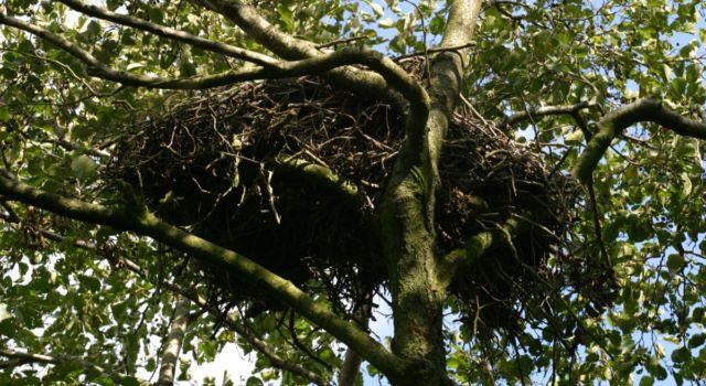 Haviknest boven in een elzenboom