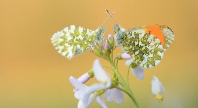 Een paartje oranjetipjes. Rechts het mannetje met de kenmerkende oranje tipjes aan zijn vleugels. Foto Thijmen van Heerde