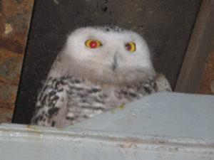 Snowy owl on ship