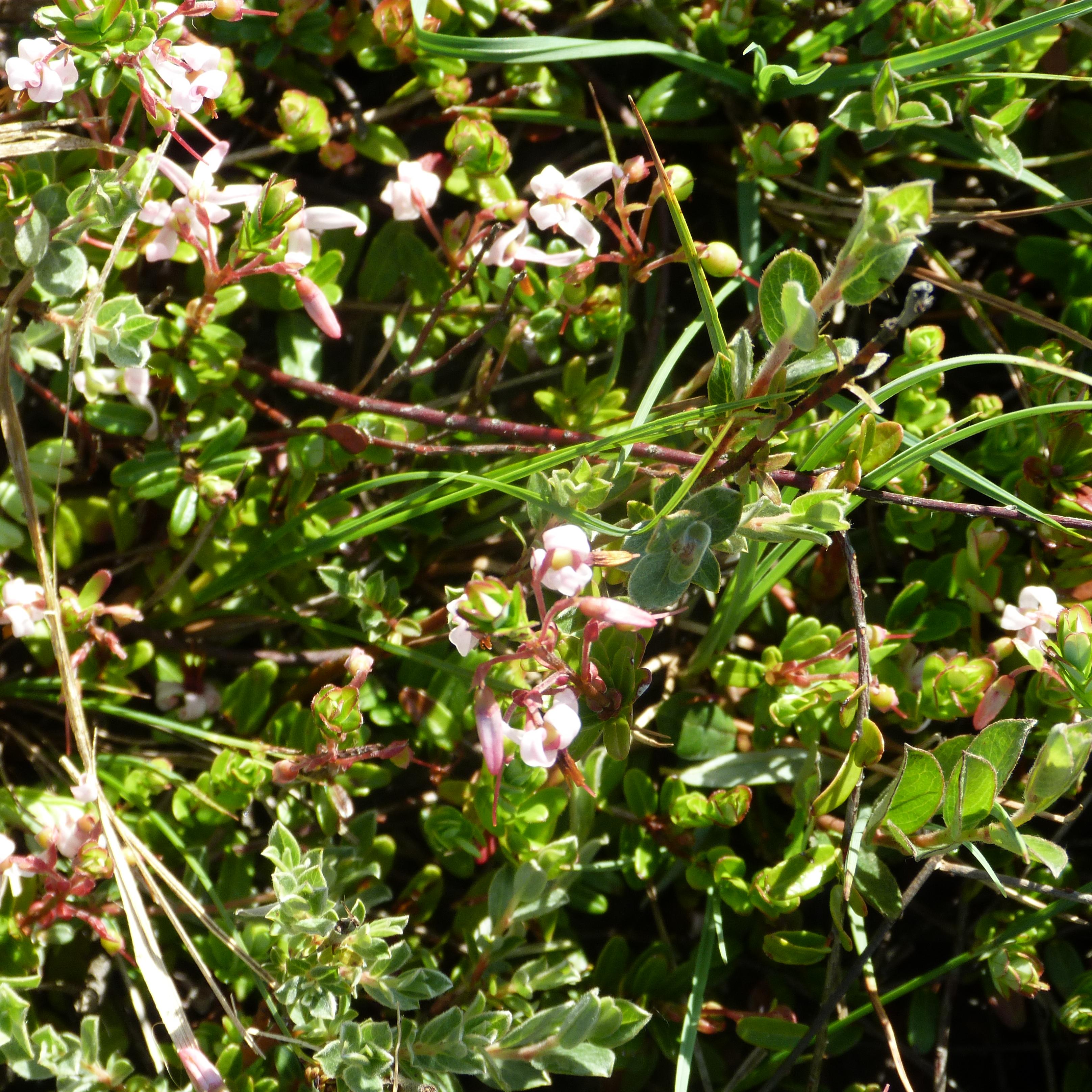 cranberrie bloei