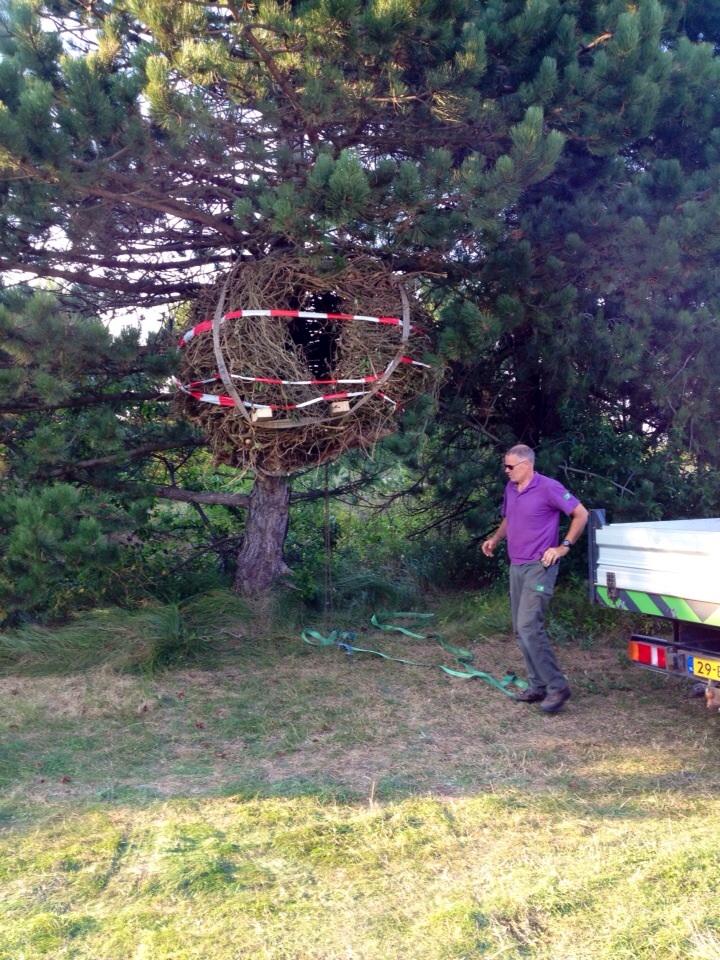 Pieter bouwt het nest op ( foto Bert Kommerij)