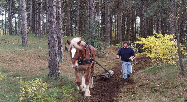 Arne Rollingswier gebruikt paardenkracht. ( foto Alianne Molog)