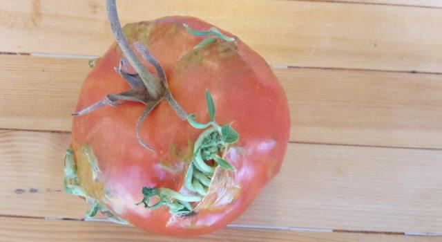 ontkiemende tomaat