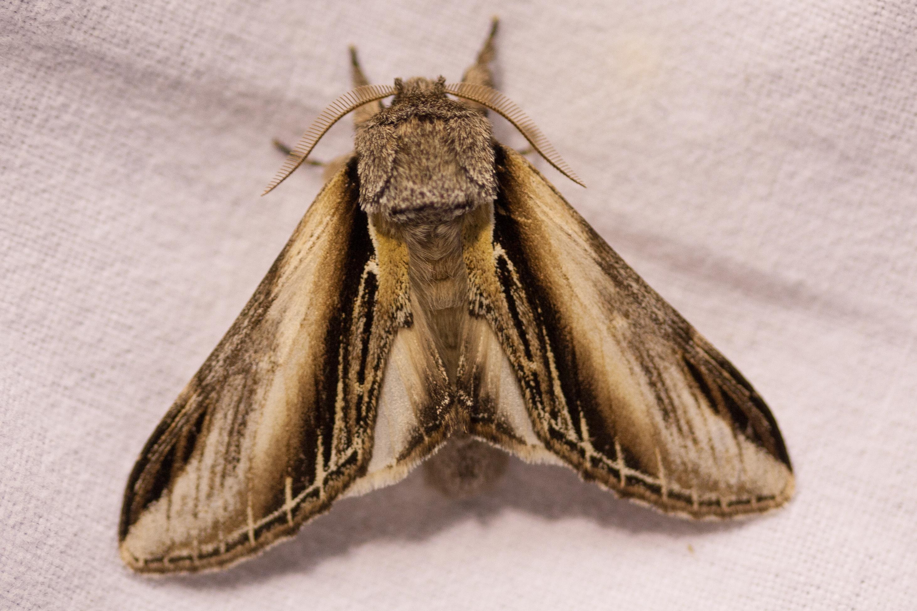 Brandvlerkvlinder -Pheosia tremula -Swallow Prominent - foto Mark Kras