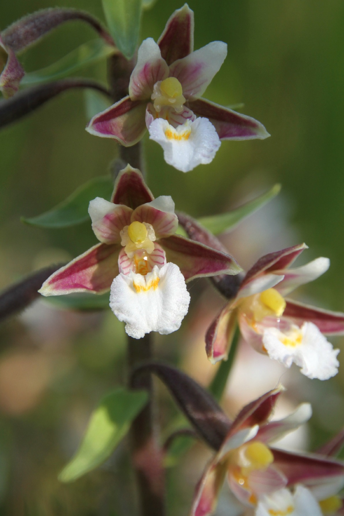Moeraswespenorchis (Foto Evert Jan Booij)