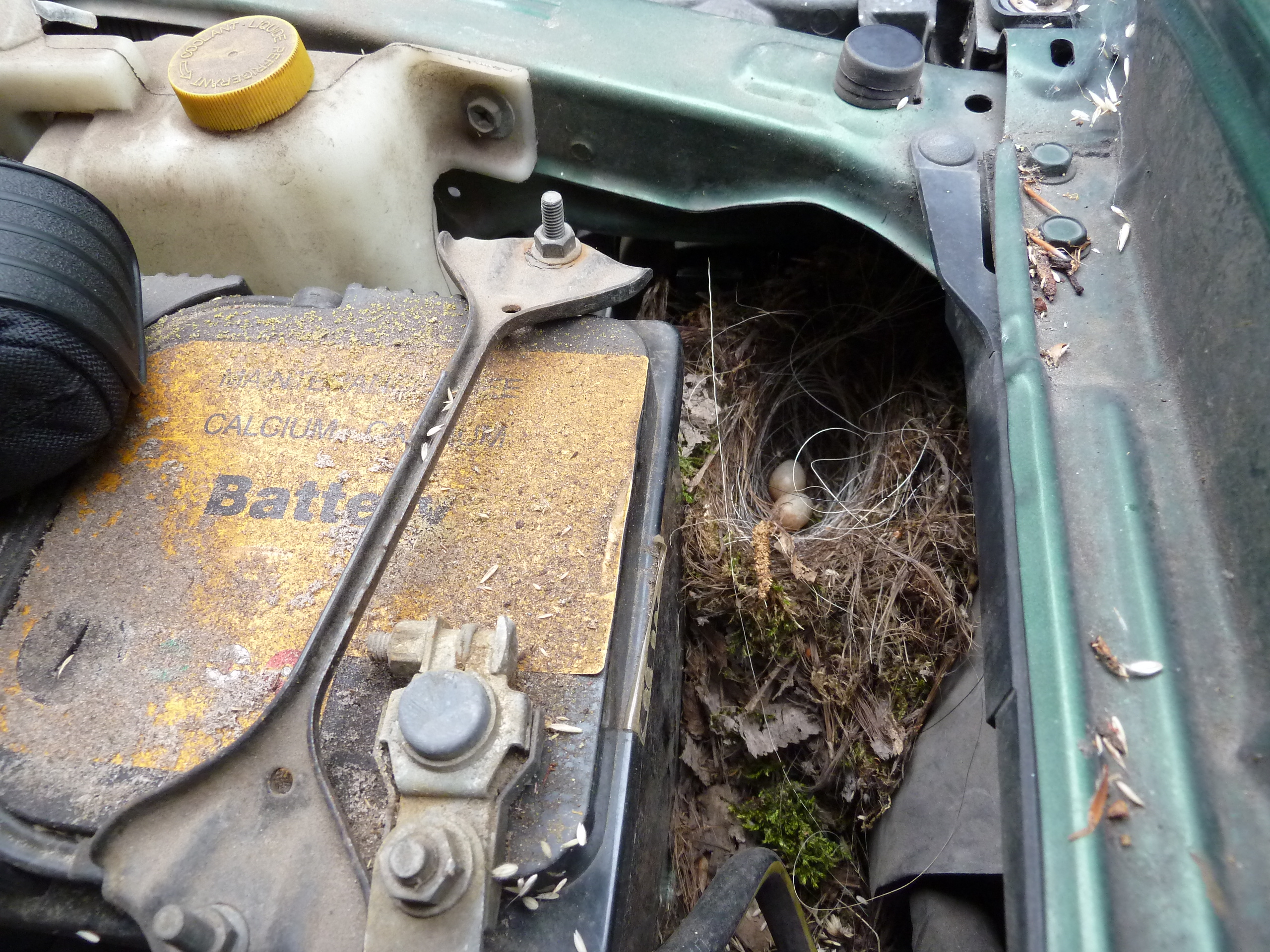 Verscholen nest onder de motorkap