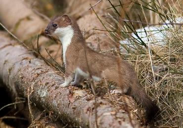 hermelijn_landschapoverijsel