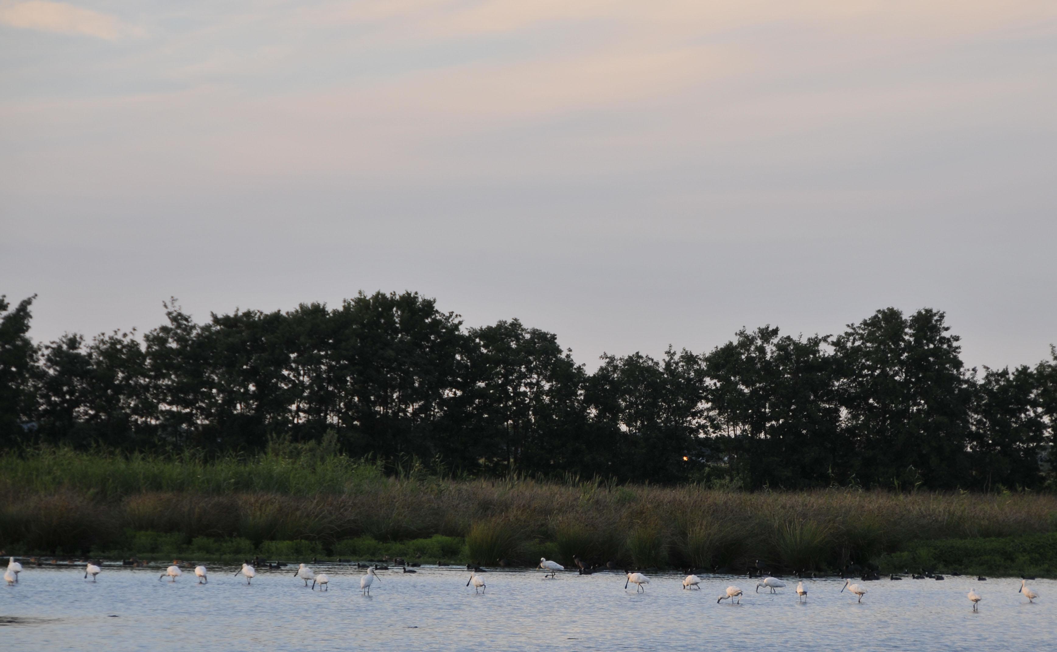 Vele lepelaars slapen in augustus in natuurgebied Willeskop